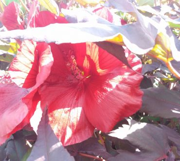 Hibiscus carousel Geant Red