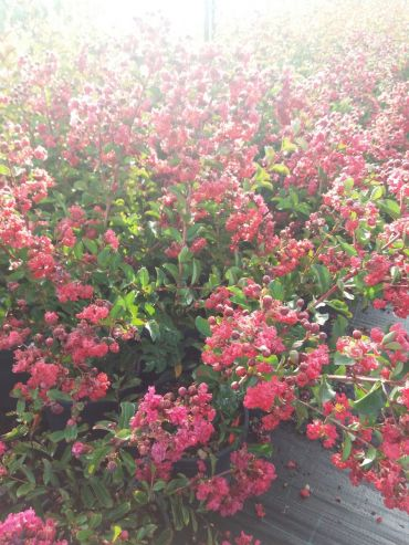 Lagerstroemia indica Durant Red