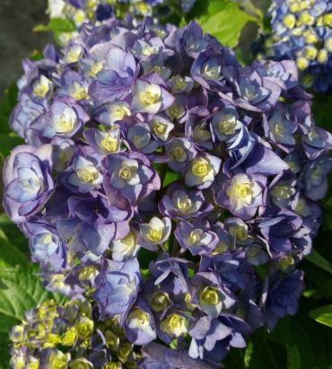 Hydrangea macrophylla You and Me Together®