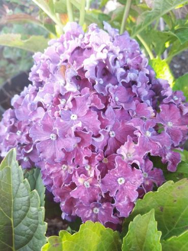 Hydrangea macrophylla 'Curly® Sparkle Blue Purple