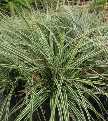 Carex oshimensis Everest®