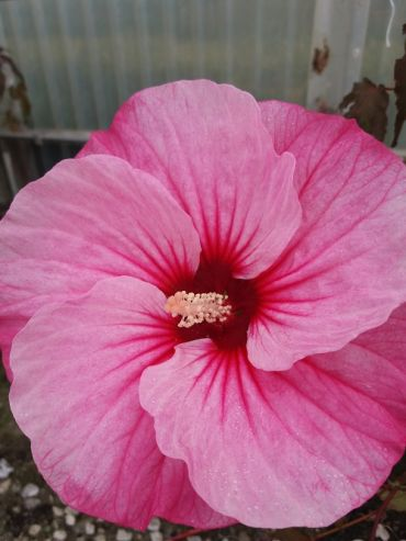 Hibiscus mosc. Carousel Pink Candy®