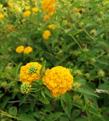 Lantana sellowiana gialla