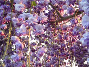 Wisteria floribunda Black Dragon