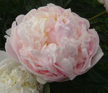 Peonia lactiflora Blush Queen