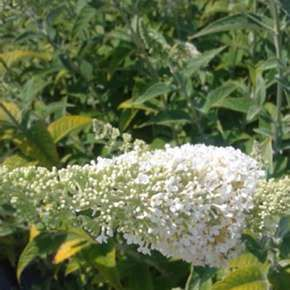 Buddleja davidii Darts Ornamental White