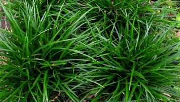 Carex morrowii Irish Green®