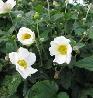 Anemone hybrida Coupe d'Argent