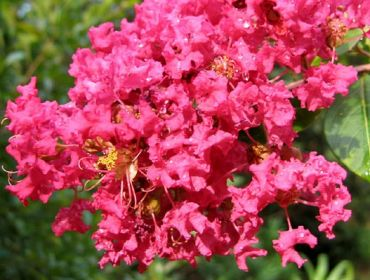 Lagerstroemia indica Durant Red Alberetto v28 cm