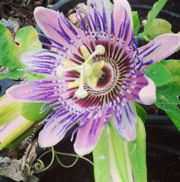 Passiflora x belotii Imperatrice Eugenia