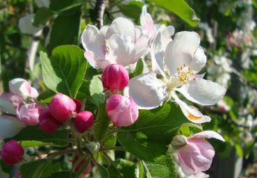 Malus floribunda Evereste