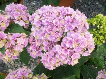 Hydrangea macrophylla You and Me Forever®