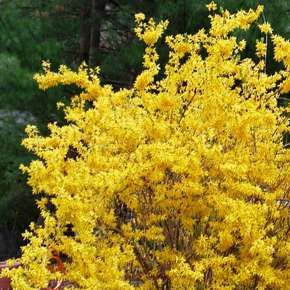 Forsythia x intermedia Week End®
