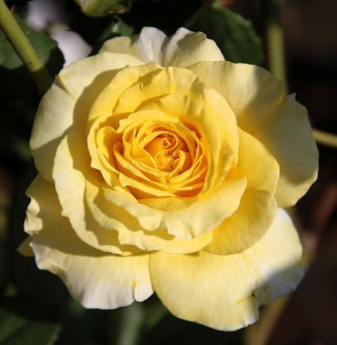 Rosa Gold Star