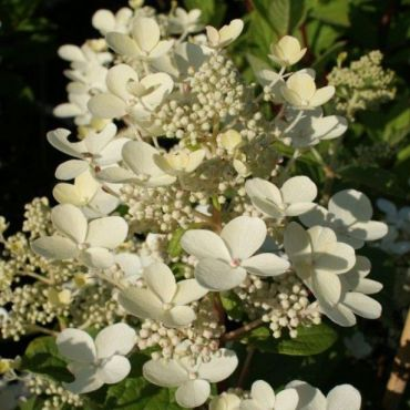 Hydrangea paniculata Early Sensation®