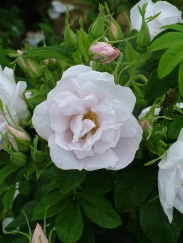 Rosa rugosa White Perfection Schneeberg