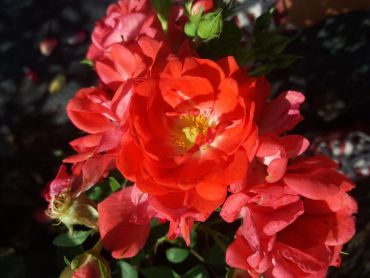 Rosa Meilland Coral Compact ®