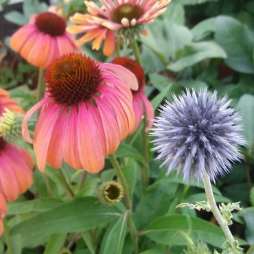 Echinacea Butterfly™ 'Rainbow Marcella
