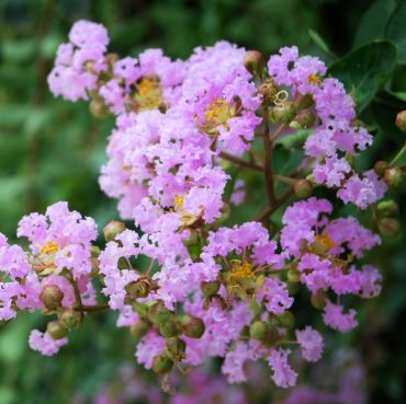 Lagerstroemia indica Muskogee