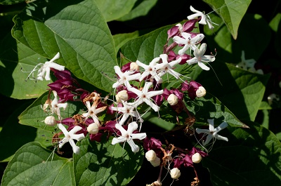 Clerodendro trichotomum