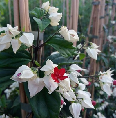 clerodendro thomsonii